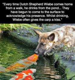 Very unlikely friends // funny pictures - funny photos - funny images - funny pics - funny quotes - #lol #humor #funnypictures: Kiss, Animals, Dogs, Friends, Koi Fish, Pets, German Shepherd