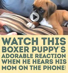 Watch this Boxer puppy's adorable reaction when he hears his mom on the phone!: Boxers Dogs And Puppies, Boxer Dogs, Boxers Puppies, Cutest Puppy Boxer, Boxer Puppy S, Boxers ️, British Accent, Animal