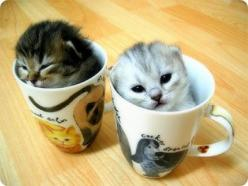 We've had five cups of coffee today and we're so wired! Give us more. But first get us out of these mugs. We're stuck.: Cats, Animals, Cups, Pet, Kittens, Kitty, Teacup