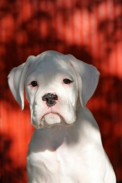 White boxer baby: Boxer Pup, Animals, Boxer Dogs, Boxerdogs, White Boxers, White Boxer Dog, Boxers ️, Boxer Babies
