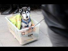 Wow. This Guy Wins The Dog Owner Of The Year Award! Watch How He Takes His Beloved Old Husky On A Walk | The Animal Rescue Site Blog