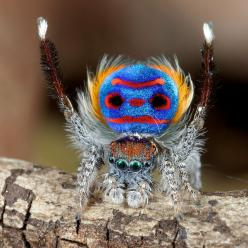 16 Stunning Photos Capturing The Beauty Of Nature 4 - https://www.facebook.com/diplyofficial: Peacocks, Animals, Nature, Spider Maratus, Amazing Animal, Peacock Spiders, Photo