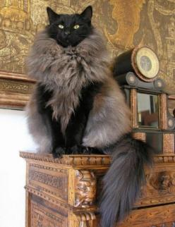 18 Cats Who Don't Even Look Real: Cats, Fur Coats, Beautiful Cat, Animals, Norwegian Forest Cat, Funny, Crazy Cat, Kitty Kitty, Cat Lady