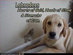 """""""Labradors: Hearts of Gold, Heads of Stone and stomachs of IRON."""" ~ Dog Shaming shame - Who Me???: Labrador, Labs, Dogs, Pet, Truth, So True, Animal"""