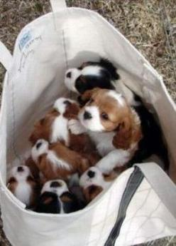 """""""Like ... a sack of puppies!"""" -: King Charles, Puppies, Animals, Dogs, Puppys, Cavalier King, Bags"""