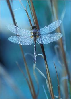 """The most beautiful thing we can experience is the mysterious. It is the source of all art and science."" ~Albert Einstein  ~LiveBoldandBloom.com: Dragon Flies, Animals, Nature, Blue, Beautiful, Dragonflies"