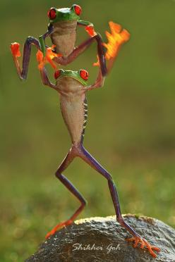 """We Are The Champions"" (Red-eyed Tree Frogs) ~ By Shikhei Goh: Animals, Nature, Middle Finger, Funny, Things, Frogs"