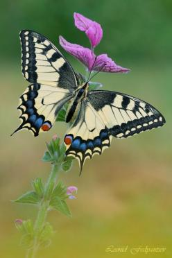 "500px / Photo ""Ms.Swallowtail On the Muscatel Sage"" by Leonid Fedyantsev: Beautiful Butterflies, Butterfly, Leonid Fedyantsev, Nature, Ms Swallowtail, Muscatel Sage, Animal"