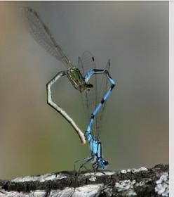 actually damsel flies. . .: Dragon Flies, Animals, Dragonflies Mating, Dragonfly S, Heart Shapes, Dragonfly Heart