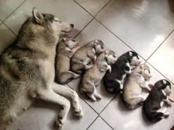 All creatures great and small ;)  Mama dog and pups: Animals, Puppies, Dogs, Pet, Family, Husky, Puppy, Baby, Families