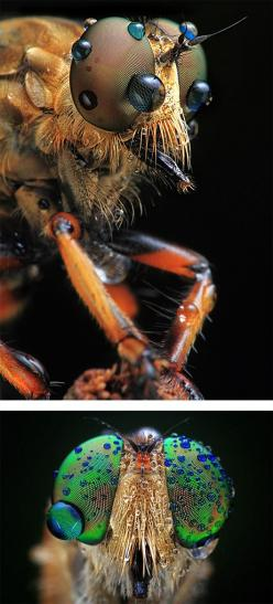 Amazing insects! Creepy but beautiful at the same time!: Amazing Insects, Insects Spiders, Insects Entomology, Bugs Insects Arachnids, Airnzwow, Insects Eyes, Macro Insects, Flies Insects