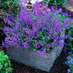 Angelonia :: easy to grow, flowers profusely, tolerant of dry spells and heat. Not fussy about soil either. Butterflies love it! #garden #spring: Green Thumb, Garden Outdoor, Flowers Profusely, Gardening Outdoor, Flowers Garden