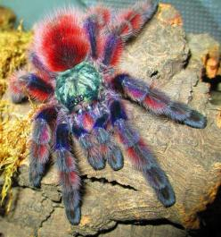 Antilles Pink-Toe Tarantula - Avicularia versicolor - This arboreal tarantula belongs to the family Theraphosidae and is native to Guadeloupe and Martinique in the Caribbean Sea. It makes quite the popular pet as it is rather docile. It is able to leap 11