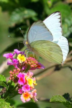 Beautiful Great Southern White Butterfly!: Beautiful Butterflies, Butterflies Dragonflies Moths, Flutterby, Flowers, Garden, Southern White