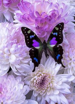Black and purple butterfly on mums - by Garry Gay: Beautiful Butterflies, Butterfly, Purple Butterfly, Flutterby, Flowers, Animal
