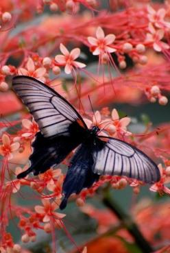 Black butterfly: Beautiful Butterflies, Butterfly, Nature, Flutterby, Moth, Flower, Animal
