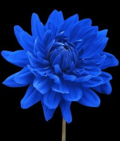 ~~Blue Dahlia Flower Black Background by Natalie Kinnear, West Sussex~~: Dahlia Flowers, Blue Flowers, Flowers Plants, Beautiful Flowers, Garden, Pretty Flower, Summer Flower