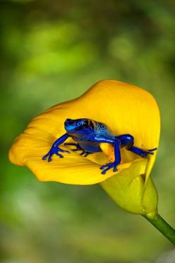 Blue frog on a Yellow flower - Source: Bendrix got this from @Diane Sobelman via. http://www.betterphoto.com/gallery/dynoGallDetail.asp?photoID=9837799=: Animals, Nature, Color, Poison Dart Frogs, Beautiful, Yellow Flower