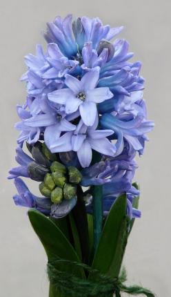 Blue Hyacinth... The scent of hyacinth and daffodils are 2 of my most treasured memories ...sublime: Memories Sublime, Spring Flower, Blue Flowers, Blue Hyacinth, Treasured Memories, Beautiful Flowers, Photo, Garden