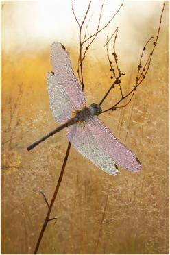 Bokeh photography dragonfly: Butterflies Dragonflies, Dragon Flies, Animals, Dragonfly S, Dragonfly Dreams, Dragon-Fly