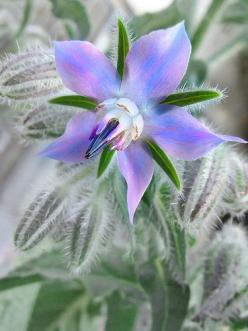 Borage (Borago officinalis) also known as Starflower - one of the edible plants in the garden - see which others ones are too.: Edible Plant, Garden Herbs, Edible Flower, Flowers Plants, Gardens, Beautiful Flowers, Aka Starflower, Borage Starflower