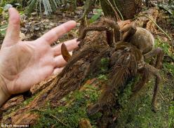 Brave scientists: To discover a species such as the goliath bird-eating spider is one thing - to put your hand next to it is quite another: Goliath Birdeater, Animals, Spiders, American Goliath, South American, Puppy Sized Spider, Eating Spider