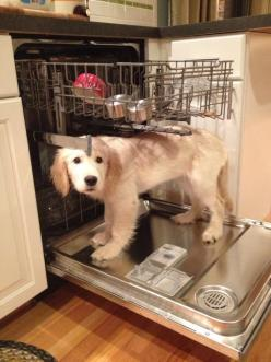 Busted~: Animals, Dogs, Golden Retrievers, Pets, Funny, Puppy, Dishwasher, Friend, Bath Time