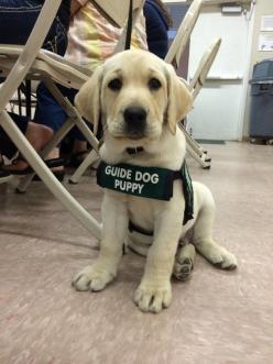 But they're always ready to work hard!   27 Reasons Labradors Are The Best Creatures In The Galaxy: Doggie, Dogs, Pet, Puppys, Friend, Animal