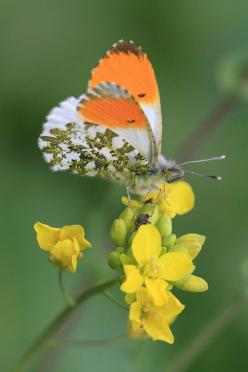 #Butterfly | #Butterflies | Desert Orangetip  Butterfly (Male) | Family: Pieridae | Subfamily: Pierinae http://www.butterfliesandmoths.org/species/Anthocharis-cethura: Beautiful Butterflies, Butterflies Dragonflies, Orange, Flutterby