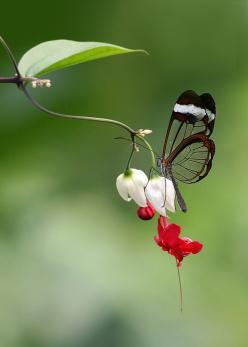 .: Butterfly, Butterflies, Nature, Beautiful, Bleeding Heart, Flowers, Photo, Animal