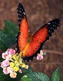 Butterfly yourself onto www.Directly.me: Beautiful Butterflies, Butterflies Dragonflies Moths, Orange Lacewing, Butterfly Moth, Flower
