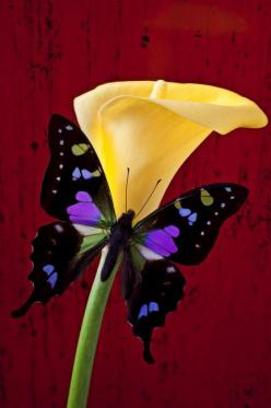 Calla lily and purple black butterfly: I will spend more time watching, chasing  and learning about butterflies.: Beautiful Butterflies, Calla Lilies, Butterflies Moth, Flower, Calla Lily