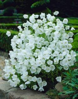 Campanula - White and Purple - easy to grow and it self seeds.  Plant in front of your garden borders.  Plant care is on this post - American Meadows: White Flower, White Garden, Flowers Garden