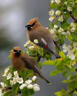 Cedar Waxwing Pair.  It is a medium sized, mostly brown, gray, and yellow bird named for its red wax-like wing tips. It is a native of North and Central America, breeding in open wooded areas in southern Canada and wintering in the southern half of the Un