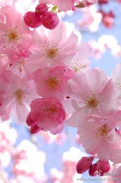 Cherry Blossoms - One of my favorite flowers EVER: Pink Blossom, Purple And Grey Bedroom, Beautiful Flowers, Color Idea, Color Palette, Cherry Blossoms