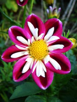 Collarette Dahlia 'Bumble Rumble': Dahlia Flowers, Nature, Dahlias, Beautiful Flowers, Pretty Flowers, Flower Power, Gorgeous Dahlia, Garden, Flower