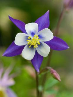 Columbine  Easy to grow and beautiful, columbine blooms in spring and early summer. The colorful blooms are loved by hummingbirds and gardeners alike.  Name: Aquilegia varieties  Growing conditions: Part shade and well-drained soil  Height: To 3 feet tall