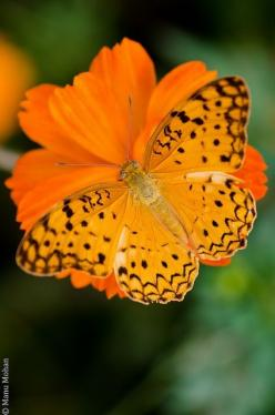 Common Leopard by leocub: Beautiful Butterflies, Orange Flower, Color, Common Leopard, Butterfly Moth