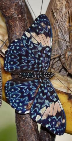 "Cracker butterflies are a neotropical group of medium-sized brush-footed butterfly species of the genus Hamadryas. They acquired their common name due to the unusual way that males produce a ""cracking"" sound as part of their territorial displays.:"