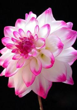 ~~Dahlia 'Matchmaker' ~ Fluffy white center with hot pink tips, spectacular garden and cut flower | Dahlia Barn~~: Pink Flower, Dahlia Barn, Matchmaker Dahlia, Dahlias, Dahlia Matchmaker, Beautiful Flowers, Garden, Cut Flower