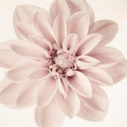 Dahlia - fine art flower photography print by Allison Trentelman: Girl Nurseries, Art Floral, Pale Pink, Fine Art, Art Flowers, Flower Photography, Photograph Pale