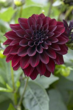 ~~Dahlia Ronaldo by Visionspictures~~ Perfect for a tattoo ... love these colors too: Arabian Night, Dahlia Flowers, Dahlia Ronaldo, Color, Dahlias, Google Search, Wedding Flowers, Black Dahlia, Garden
