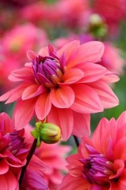 Dahlias: Color, American Dawn, Dahlias, Flower Power, Pretty Flowers, Beautiful Flowers, Flowers Garden
