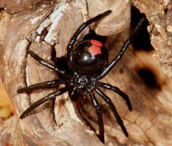 deadliest spiders of the world   Red Back Spider2 Top 10 Deadliest Spiders: Insects Spiders, Australian Wildlife, Deadly Spiders, Spider Species, Australian Spiders, Nature Spiders