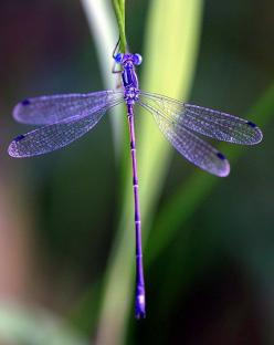 Deep in the sun-searched growths the dragonfly hangs like a blue thread loosened from the sky. ~ Dante G. Rossetti: Dragon Flies, Dragonflies Butterflies, Nature, Purple Dragonfly, Color, Dragonfly S, Animal