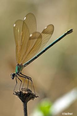 dragon fly - attract dragon flies to your garden by giving them a perching spot.  Be it a bean stake, or even a few lone bamboo poles throughout your garden, you are sure to attract these mosquito eating beauties!: Dragonflies Damselflies, Dragon Flies, I