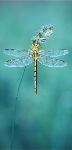 Dragon Fly - Mmm mmm, mmmmm...: Dragonflies Damselflies, Colour, Butterflys Moths Dragonflys, Color Inspiration, Dragonflies Butterflies, Beautiful Color, Dragonflies Insects, Dragonflies My