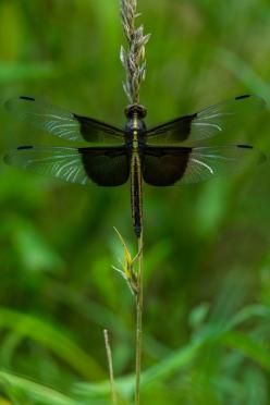 Dragon Fly. Via Ben Irvine. First time I've seen these colors and markings. Lovely!: Photos, Dragon Flies, Photograph Dragon, Dragonfly, Animal, Dragonflies
