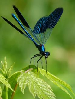 Dragonflies . . .When I was small--I thought they were fairies in disguise. What a beautiful design of nature.  Love the color scheme, too.  . .photo by Sylvia Iilova.: Butterflies Dragonflies, Blue Dragonfly, Dragon Flies, Animals, Bugs, Dragonfly S, Ins