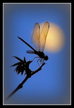 Dragonfly And Moon Waldek #photos, #bestofpinterest, #greatshots, https://facebook.com/apps/application.php?id=106186096099420: Dragon Flies, Waldek Lidka, Dragonfly S, Photo, Dragonflies, The Moon